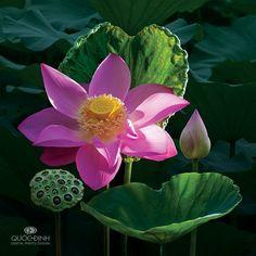Lotus. Photo by duongquocdinh.deviantart.com