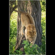 Younger Lion jumping out of a tree in Tanzania  Images from my 2016 trip to Tanzania  Serengeti Ngorongoro Tarangire National Parks  https://www.youtube.com/watch?v=B9yaYrrw7kg&feature=youtu.be  https://youtu.be/zWRT3t89TI0  http://ift.tt/1PSxMR6  http://ift.tt/1GIV8Bf  http://ift.tt/1VlUBxV  http://ift.tt/1TLzkkl  http://ift.tt/1QUSTTG  #Africa #African #AfricaSafari #AfricaPhotoTour #PhotoSafari #RobsWildlife #Tanzania #SerengetiNationalPark #NgorongoroNationalPark #TarangireNationalPark
