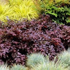 Loropetalum Chinensis Beautiful color combo – burgundy, lime green and silver - tropical garden ideas Pink And White Flowers, Exotic Flowers, Amazing Flowers, Red Flowers, Landscaping Plants, Garden Plants, Driveway Landscaping, Landscaping Ideas, Palmers Garden Centre