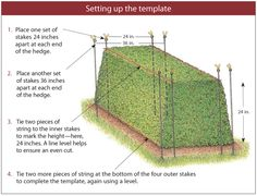 Setting up the template for pruning yew hedge