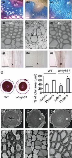 an transcription factor, functions as a pleiotropic regulator via a small gene network Transcription, Factors
