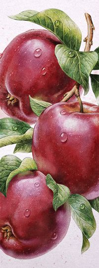 Pictures and illustrations artists to order - iNORAMA illustrators Watercolor Fruit, Fruit Painting, China Painting, Illustration Artists, Botanical Illustration, Painting & Drawing, Watercolor Paintings, Fruits Drawing, Fruit Art
