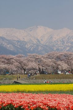Tulips and Cherry Blossoms, Toyama, Japan