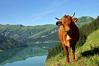Tarentaise cattle (French-meat & dairy) Wikipedia, the free encyclopedia