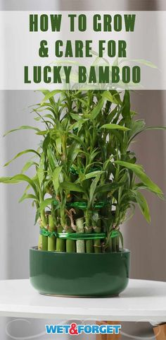 Houseplants Ask Wet & Forget Top Lucky Bamboo Care Tips & Tricks Bamboo House Plant, Indoor Bamboo Plant, Bamboo Plant Care, Indoor Tropical Plants, Bamboo In Pots, Snake Plant Care, Lucky Bamboo Plants, Bamboo Tree, House Plants