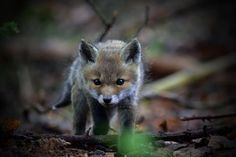 Red Fox Cub by Jan Bürgel - National Geographic Your Shot