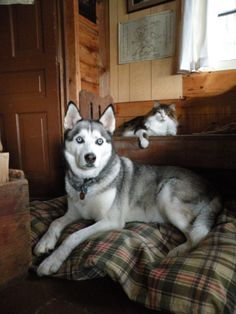Why yes, we do know we're adorable  #husky #maine coon