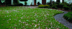 Colonial Bentgrass, Strawberry and Dutch White Clover, Wild English Daisies, Roman Chamomile, Yarrow and Baby Blue Eyes