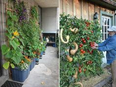 A couple of interesting ways to grow in small spaces. I use tubs all the time but have never grown squash up a wall. I would think they would be too heavy.