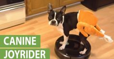 Boston Terrier rides Roomba in a turkey costume Funny Dogs, Funny Animals, Turkey Costume, The Funny, Your Pet, Entertaining, Boston Terriers, Costumes, Pets