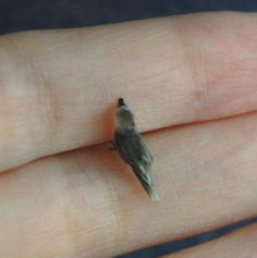 OOAK Dollhouse Realistic Miniature 1:12 ♥ Tufted Titmouse Bird ♥Handmade Sculpt | eBay