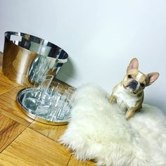 "Stainless Steel Shiny Bar Tray 13.75"" Stem Wine Decanter 1L Stainless Steel Round Beverage Tub Icelnd Shpskn Down Alternative 24"" Pillow/Cush Cylinder Champagne Flute 8oz.  cb2 frenchie instagramtakeover bulldog dogsofig frenchbulldog nyc oscars cb2pets chloetakescb2 cutepup ""Chic and modern, just like me"" - @ChloeTheMiniFrenchie sharing her #Oscars faves // #ChloeTakesCB2 #CB2Pets #CB2 // Link in bio to shop!   #frenchie #frenchbulldog #bulldog #nyc #instagramtakeover #dogsofig #cutepup"