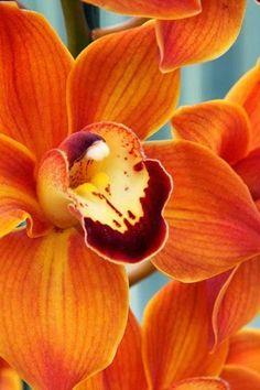 Orange Orchids