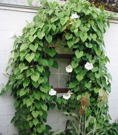 A night-blooming species of morning glory, this plant features fragrant white flowers that open from sundown to sunup.