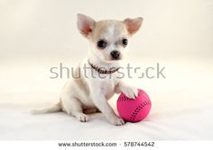 Free Image on Pixabay - Chihuahua, Dog, Chiwawa, View, Good