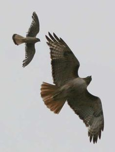American Kestral harassing a Red Tailed Hawk - Eastern Washington
