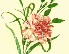 This print is taken from a french book published in 1983. Pierre- Joseph Redoute (1759 - 1840) was a French painter and botanist known for his watercolors of flowers and fr... #carnation ➡️ http://jto.li/8CjVA