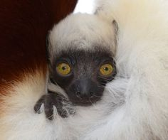 Baby Sifaka at the Duke Lemur Center!  Can't wait to visit sometime soon!