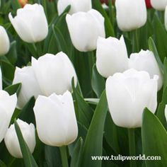 Image White Triumph Tulips Pax  - 20 bulbs