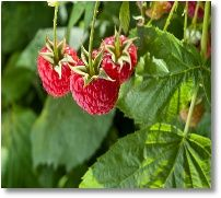 Grow Raspberries in Your Backyard by Mike the Gardener