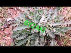 Βυζάκι!!!ΑΓΡΙΑ ΧΟΡΤΑ ΚΡΗΤΗΣ... - YouTube Cabbage, Vegetables, Youtube, Plants, Vegetable Recipes, Veggie Food, Cabbages, Planters, Collard Greens