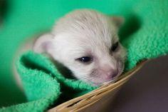 Newborn fennec fox.