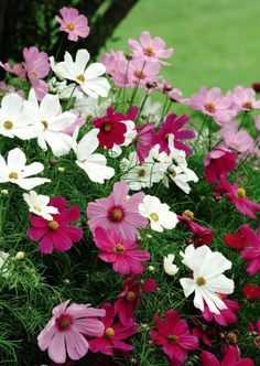 Cosmos bipinnatus 'Sensation' mix. I'm planting some of these in my garden with Princess Anne and Pomponello roses, white Buddleia, Lamb's ears, Salvia Sky Blue and Armeria Bees Ruby.