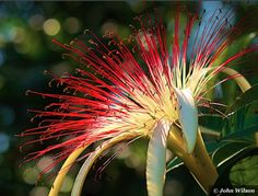A flower growing in Honduras - a beautiful creation by the Creator!