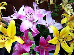 Весной, до появления побегов лилий, в почву вношу азотные удобрения, например, аммиачную се литру (1 столовая ложка на 1 м 2). Или подкармливаю посадки лилий органическими и минеральными удобрениям…