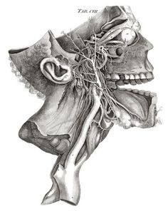 Dissecting a Human Head Through Anatomical Illustrations Science Experiments :: WonderHowTo Head Anatomy, Human Anatomy Drawing, Anatomy Organs, Medical Drawings, Medical Art, Medical Illustrations, Art Illustrations, Cuadros Star Wars, Male Figure Drawing