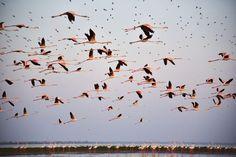 空飛ぶフラミンゴ(インド)