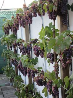 #grapevines #espaliers high-potassium soil for fruit & flowers