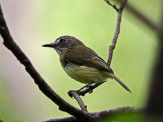 Sebinho-rajado-amarelo (Hemitriccus striaticollis)