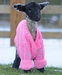 Lamb wears wooly jumper to keep warm. Barn Animals, Barnyard Animals, Animals And Pets, Funny Animals, Cute Animals, Wooly Jumper, Pink Sweater, Chicken Sweater, Funny Animal Photos