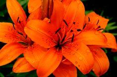 OTP - Flowers Old Town, Otp, Orange Color, Flowers, Plants, Photography, Flora, Plant, Photograph