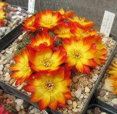 Sulcorebutia callecallensis L389 f3