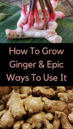 Growing Veggies, Growing Herbs, Gardening For Beginners, Gardening Tips, Potato Gardening, Indoor Gardening, Ginger Plant, Ginger Bug, Growing Ginger