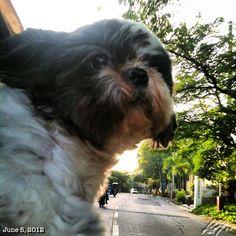 Pepper #shihtzu #dog #philippines #drive #フィリピン #犬 #シーズー