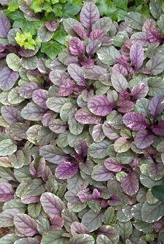 Brokbladig revsuga, Ajuga reptans 'Burgundy Glow', 15 cm hög, får lila blomkolvar i juni. (ljusare lila än på mörkbladiga).