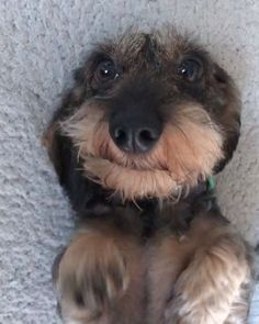 Cute Wirehaired Puppy& Dachshund Puppy& Dachshund& Video& Dachshund Video& Dog Video& Dog Video& Dog Video& Dog Video& Dachshund Dog Video& Dog Video& Video& Video& The post Cute Wirehaired Puppy Dachshund Facts, Dapple Dachshund, Wire Haired Dachshund, Funny Dachshund, Dachshund Puppies, Cute Puppies, Cute Dogs, Dogs And Puppies, Daschund
