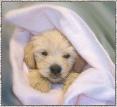 #goldendoodle puppy!!   # Pin++ for Pinterest #