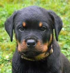 rottweiler dog names - HD1542×1600