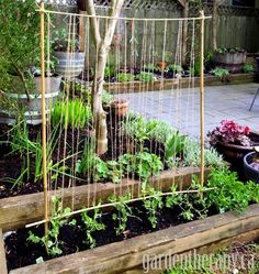 The little pea vines cling and twine nicely around string, and this simple trellis is perfect to pack a lot of peas into a small area.