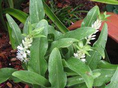Pineapple Lily (Eucomis autumnalis)