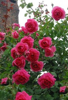 Pretty Roses, Beautiful Roses, Beautiful Gardens, Summer Flowers, Love Flowers, Special Flowers, Climbing Roses, Trees To Plant, Pink Roses