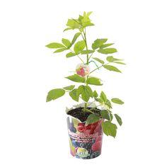 140mm Berrylicious Raspberry Heritage | Bunnings Warehouse