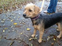 Meet Veronica, a Petfinder adoptable Welsh Terrier Dog | Lake Jackson, TX | This is Veronica, a sweet Terrier who is looking for love. She's doing well in her foster home and...