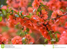 Red Spring Blossom - Download From Over 59 Million High Quality Stock Photos, Images, Vectors. Sign up for FREE today. Image: 91680771