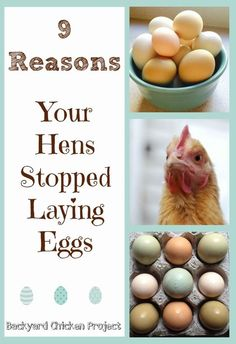 There are many reasons that hens stop laying eggs. We break them down and clear up the confusion .: