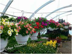 Beautiful petunias